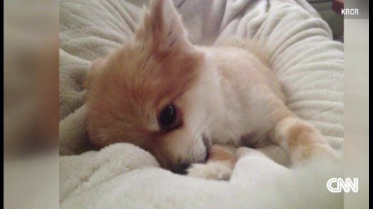 Beat the Pomeranian went missing in early August. (Photo: CNN via KRCR)