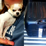 This Chihuahua was reunited with its owner after being found in a checked suitcase at LaGuardia. (TSA)