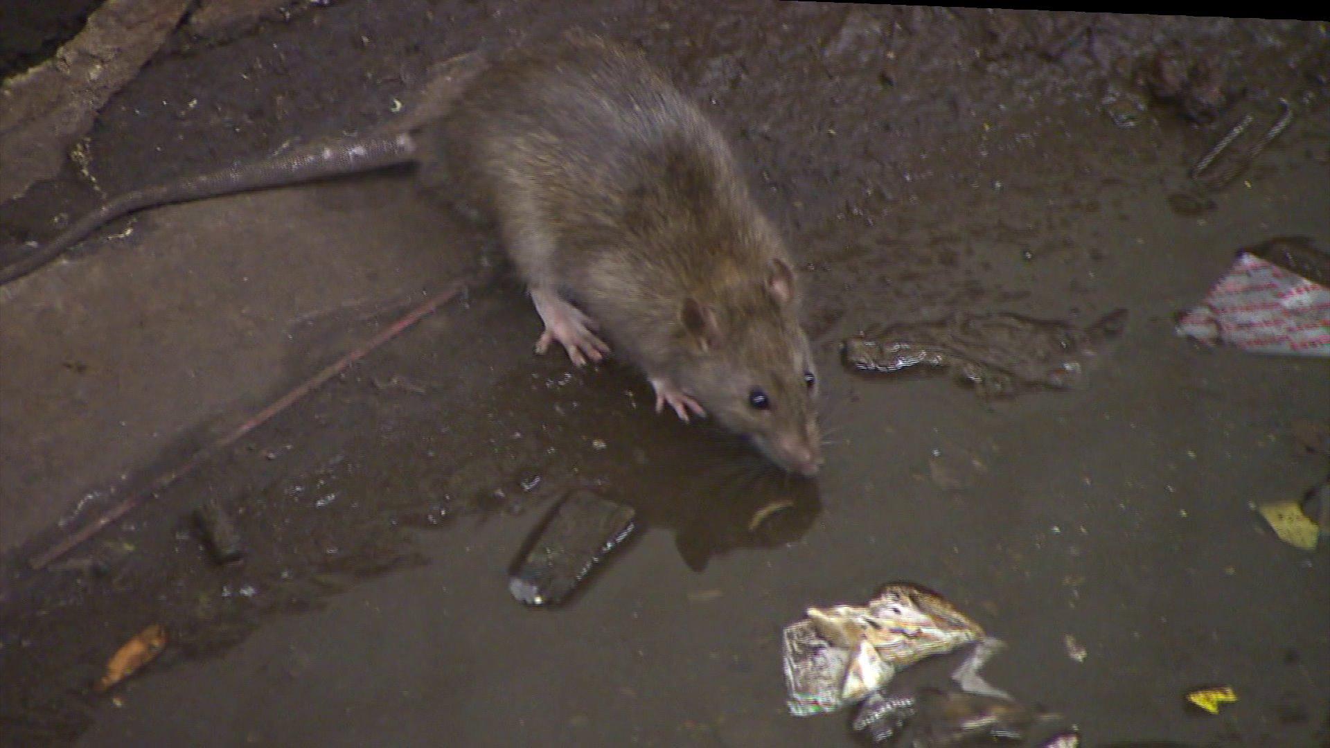Rats NYC