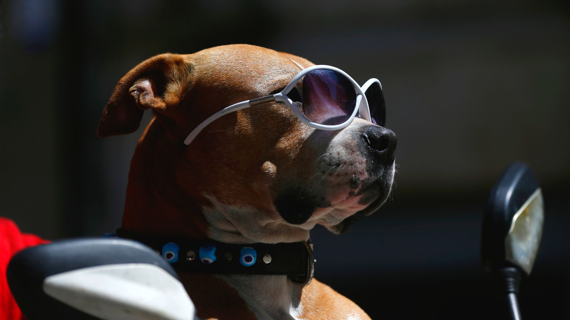 Dog in sunglasses in sunny, warm weather