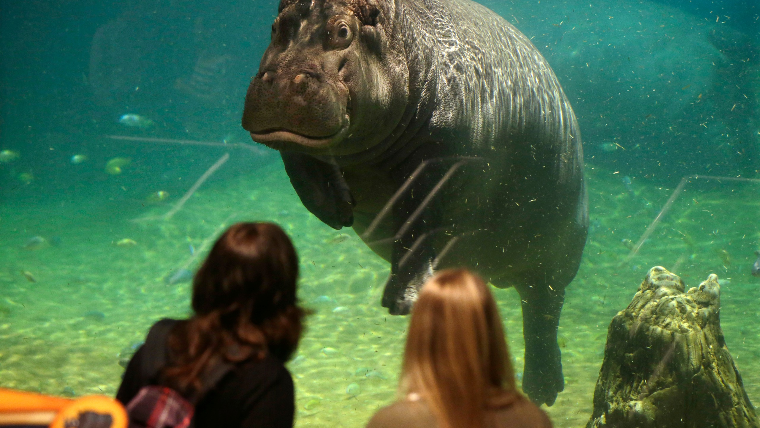 New Jeresey Aquarium Hippos