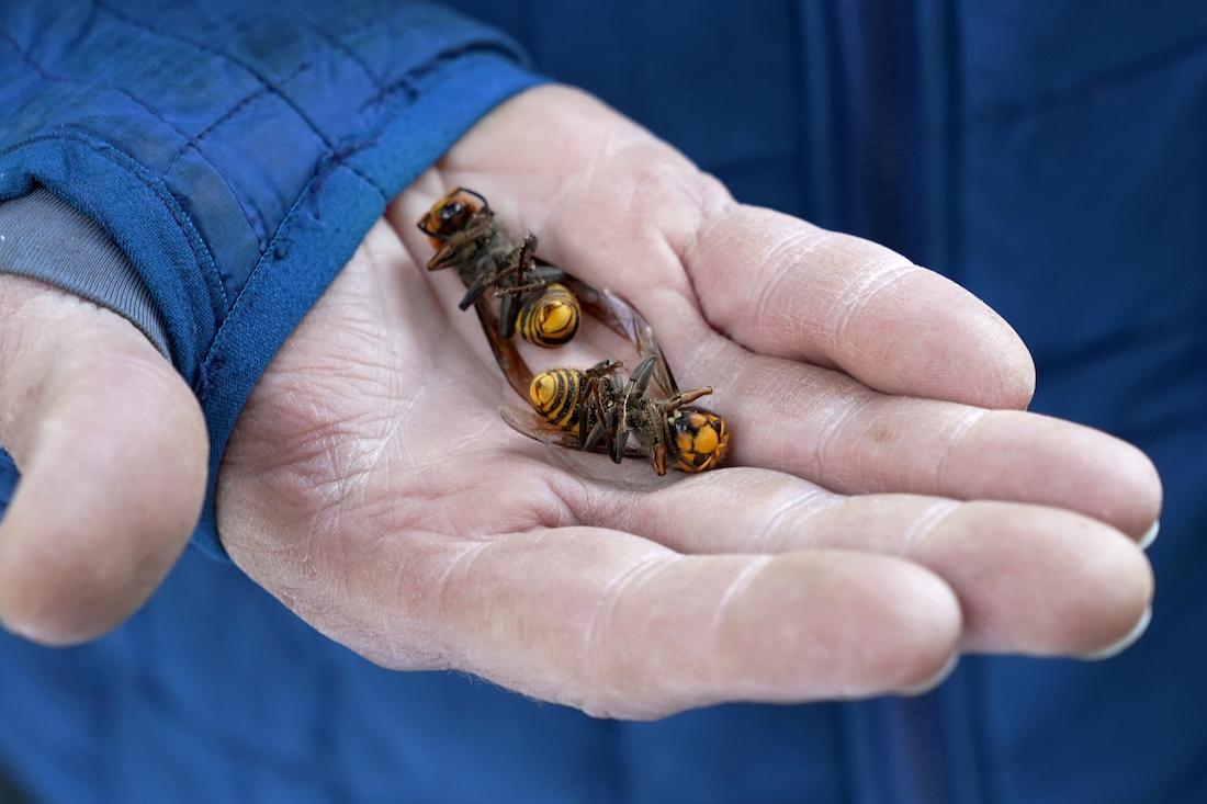 Destruction of murder hornets nest doesn't end threat