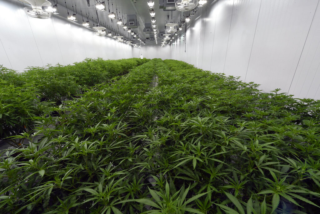 Medical marijuana plants at the Curaleaf medical cannabis cultivation and processing facility in Ravena, New York