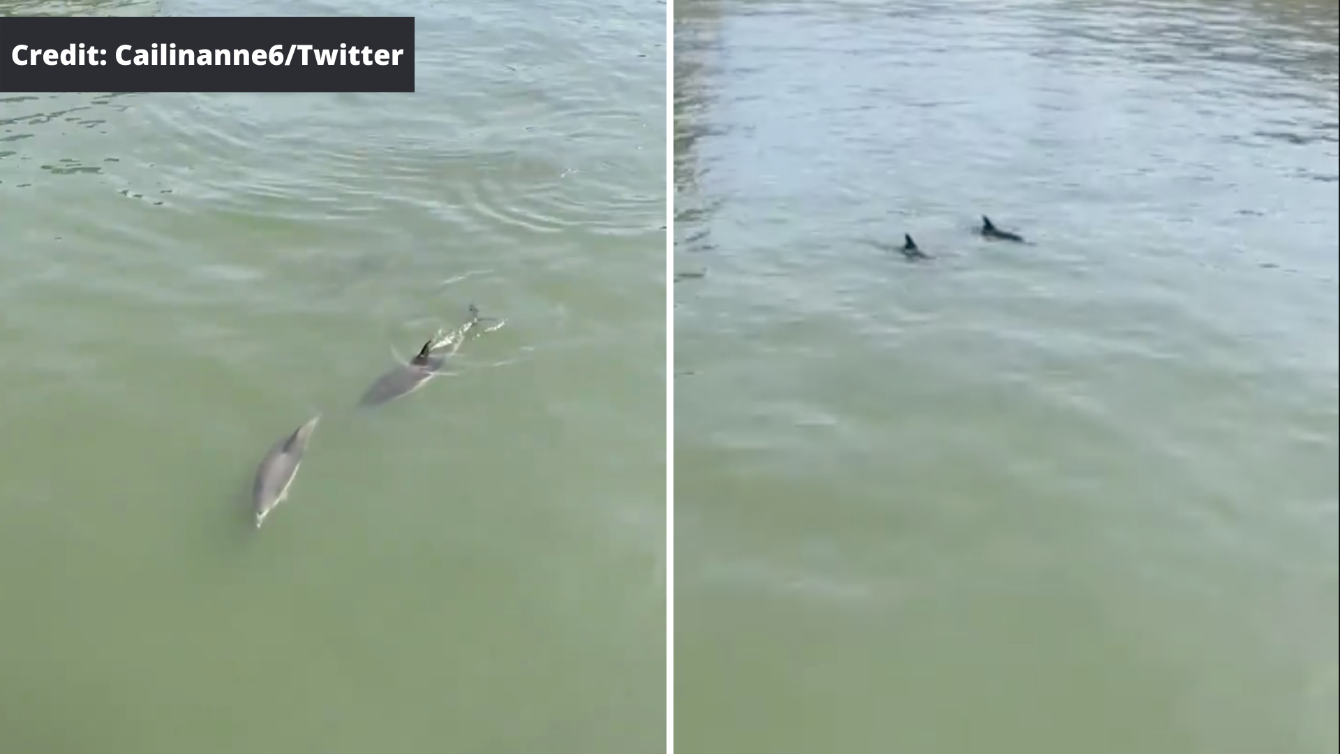 Dolphins in the East River(1)