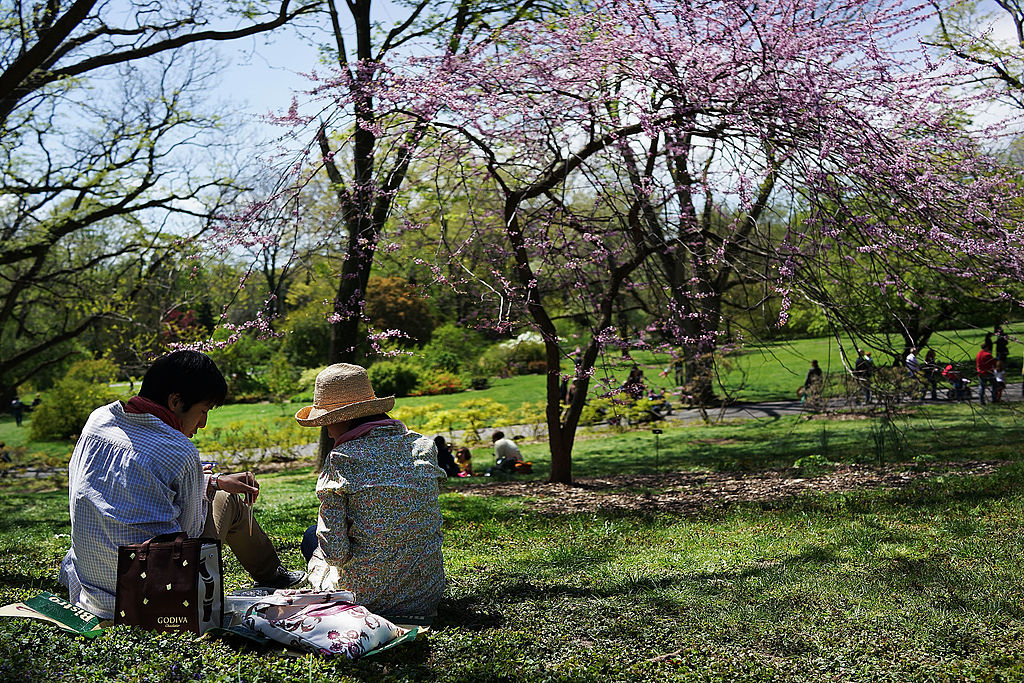 People sit under cherry blossom trees