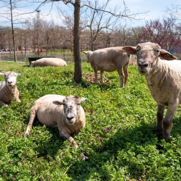 Governors island sheep employees