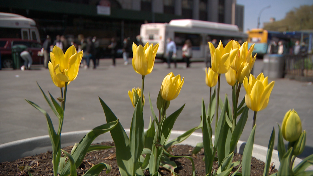 Tulips on sunny spring day in NYC