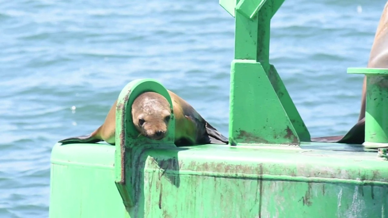 Video: Crews rescue sea lion with head stuck in metal loop