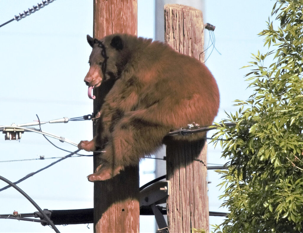 Bear on pole