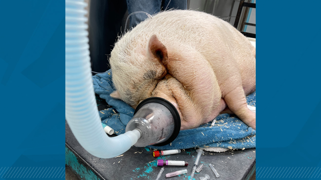 Pig 'so obese she can hardly move' found abandoned in dog cage in Las Vegas