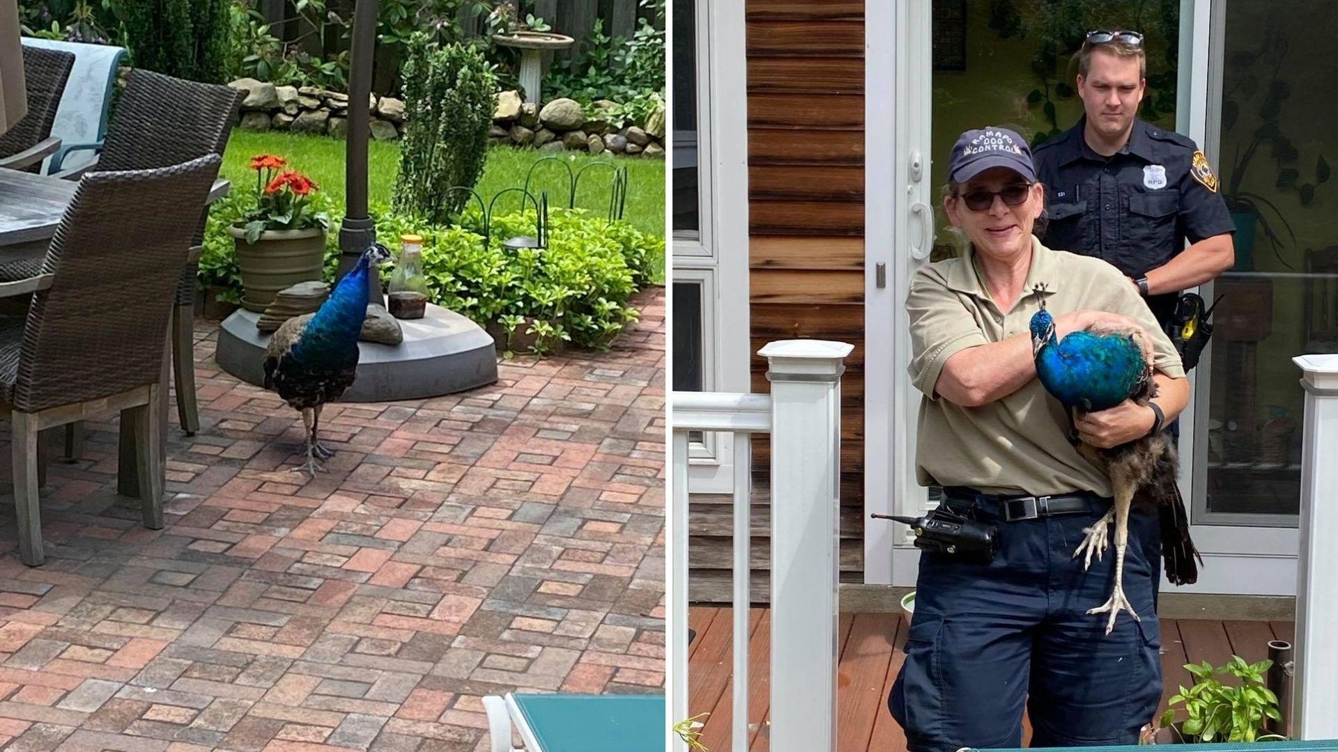 peacock in ramapo backyard