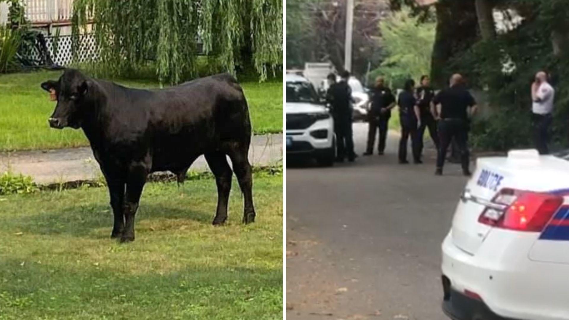 Bull on the loose on LI