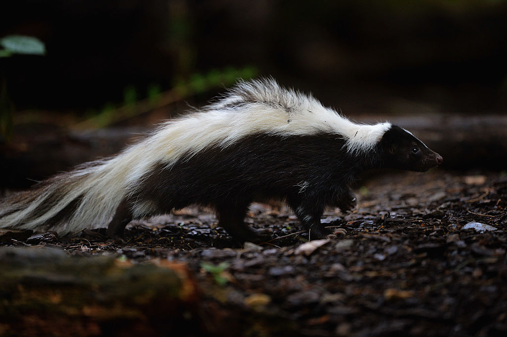 skunk at zoo
