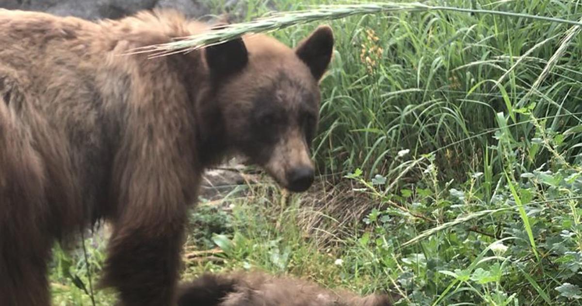 bear and dead cub