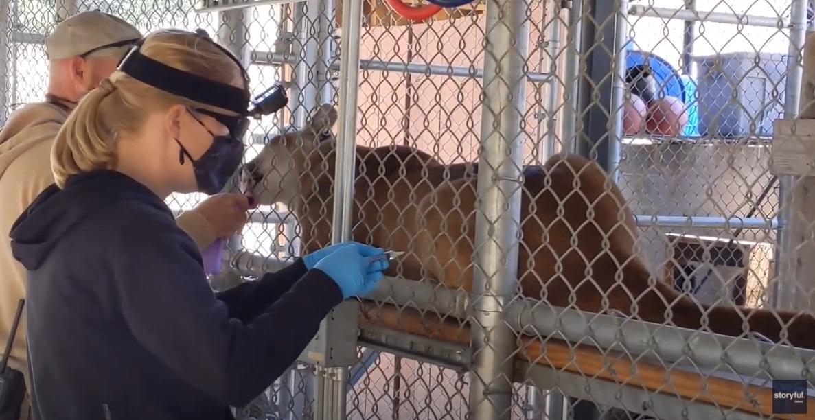 zoo animals covid vaccine