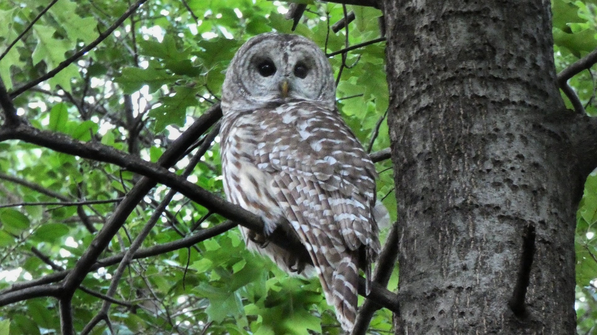 barry barred owl central park dies