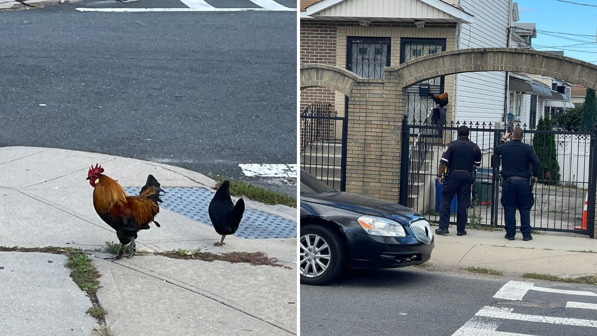 Rooster attack